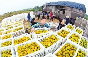 新余仙女湖区观巢镇上汾村蜜橘种植基地一派繁忙