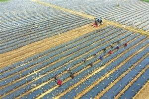 瑞昌:村民趁有利天气栽种迷迭香幼苗